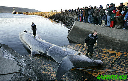 An endangered Fin Whale is brought to the harbor of Hvalfjörður, Iceland.